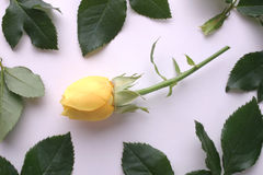 желтый цвет розы рамки Стоковые Изображения RF