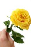 желтый цвет розы руки белый Стоковое фото RF