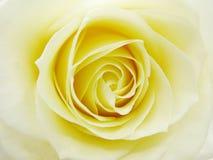 желтый цвет розы сердца крупного плана Стоковые Изображения RF