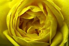 желтый цвет розы цветка Макрос над взглядом вектор детального чертежа предпосылки флористический Стоковое Фото