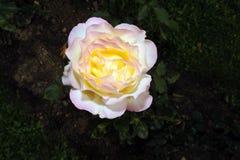 желтый цвет розы цветка Стоковые Фотографии RF