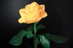 желтый цвет розы черноты предпосылки Стоковое Изображение