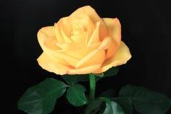желтый цвет розы черноты предпосылки Стоковые Изображения RF