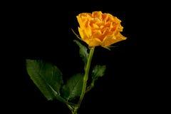 желтый цвет розы черноты Стоковая Фотография RF