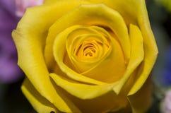 1 желтый цвет розы Стоковые Изображения RF