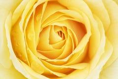 желтый цвет розы raindrops Стоковые Изображения