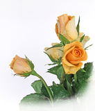 желтый цвет роз пука Стоковые Изображения RF