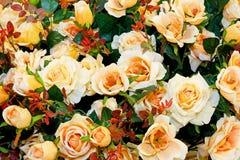 желтый цвет роз Стоковые Изображения