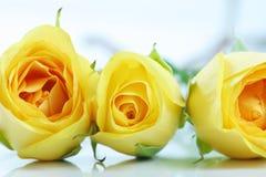 желтый цвет роз 3 белый Стоковая Фотография RF