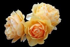 желтый цвет роз Стоковое фото RF
