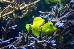 желтый цвет рыб Стоковые Фотографии RF