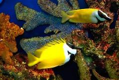 желтый цвет рыб Стоковые Изображения