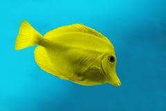 желтый цвет рыб Стоковая Фотография