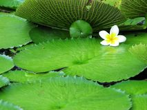 желтый цвет света цветка предпосылки белый Стоковое Изображение