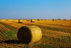Желтый цвет сжал голосования пшеницы в поле стоковые изображения