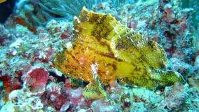 желтый цвет скорпиона Мальдивов листьев рыб Стоковое Изображение RF