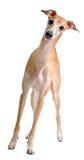 желтый цвет смешной борзой собаки итальянский стоковое фото