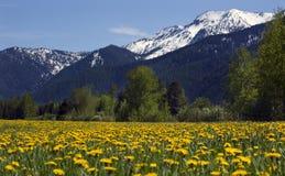 желтый цвет снежка горы Монтаны цветка фермы Стоковая Фотография