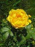 Желтый цвет собак-поднял цветок Стоковые Изображения RF
