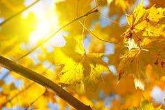 желтый цвет солнца клена листьев осени Стоковые Изображения RF