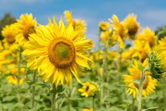 желтый цвет солнцецвета солнца поздним летом цветка центра поля пчелы яркий Стоковое Изображение RF