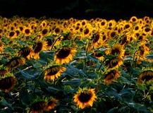 желтый цвет солнцецвета солнца поздним летом цветка центра поля пчелы яркий Стоковое Изображение