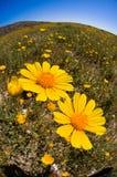 желтый цвет солнцецвета Стоковая Фотография RF