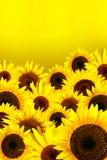 желтый цвет солнцецветов лепестков предпосылки Стоковая Фотография RF