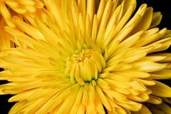 желтый цвет спайдера мумии Стоковое Изображение RF