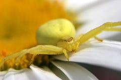 желтый цвет спайдера рака Стоковые Изображения