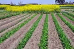 желтый цвет стартеров rapeseed pengzhou лука фарфора Стоковая Фотография RF
