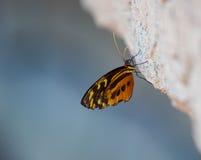 желтый цвет тигра бабочки longwing Стоковое Изображение