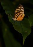 желтый цвет тигра бабочки longwing Стоковое Фото