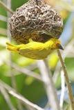 желтый цвет ткача гнездя здания птицы Стоковая Фотография RF