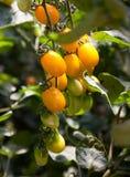 желтый цвет томатов вишни Стоковое фото RF