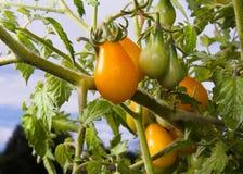 желтый цвет томатов груши Стоковая Фотография