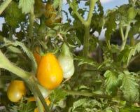 желтый цвет томатов груши Стоковые Изображения
