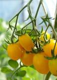 желтый цвет томатов стоковое фото