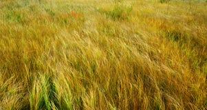 желтый цвет травы осени Стоковое Изображение
