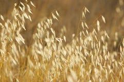 желтый цвет травы Стоковые Изображения RF