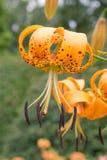 желтый цвет турка лилии s крышки одичалый Стоковое Изображение