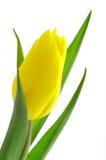 желтый цвет тюльпана крупного плана славный Стоковая Фотография