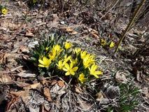 желтый цвет тюльпана одичалый стоковые фото