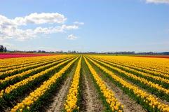 желтый цвет тюльпана поля стоковые изображения