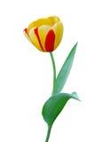 желтый цвет тюльпана цветка Стоковое Изображение