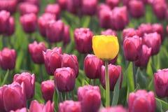 желтый цвет тюльпана Стоковое Изображение