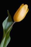 желтый цвет тюльпана Стоковые Изображения