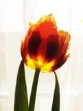 желтый цвет тюльпана 2 красных цветов Стоковая Фотография