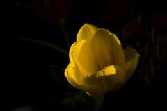 желтый цвет тюльпана Стоковое фото RF