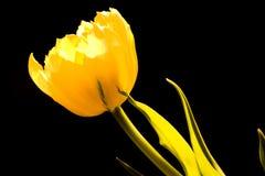 желтый цвет тюльпана Стоковая Фотография